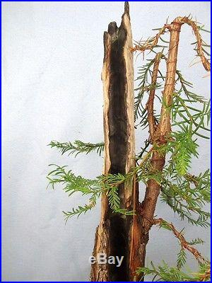 Coastal Redwood Specimen Bonsai Tree HUGE 8 BASE! Compare to pine or maple
