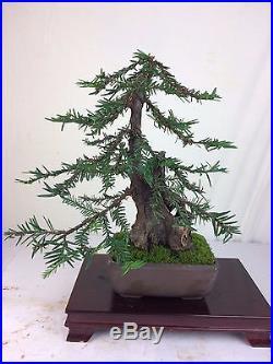 Coastal Redwood Specimen Shohin Bonsai Tree HUGE 4 HOLLOW TRUNK