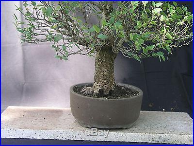 Collected American Elm Bonsai 2 trunk 12 Tall Good Nebari Nice Bark Nice Pot