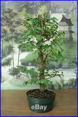 Collected Cedar Elm Pre Bonsai. Natural Style! Cold Hardy Tree
