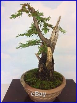 Collected Coastal Redwood Specimen Shohin Bonsai Tree Japanese Pot- Yamadori