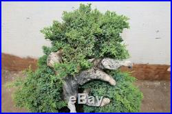 Collected Juniper Woodpecker Bonsai Tree