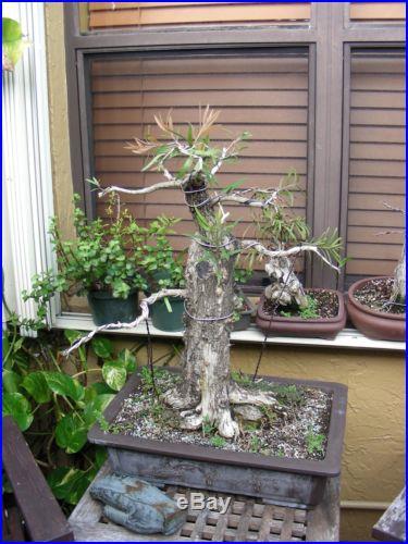 Collected specimen bottlebrush Bonsai Over 60 years old
