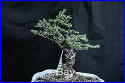 Colorado Blue Spruce Bonsai Tree, Root Over Rock