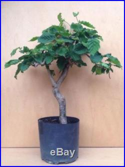Contorted Filbert Walking Stick Hazlenut Pre Bonsai Specimen Tree