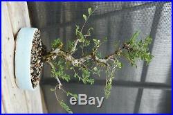 Cork Bark Elm Bonsai Tree Sam Miller pot