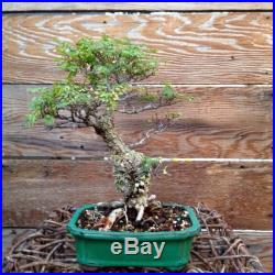 Cork Bark Elm Shohin Bonsai
