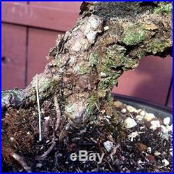 Cork Bark Japanese Black Pine Specimen Bonsai