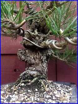 Cork Bark Japanese Black Pine bonsai specimen