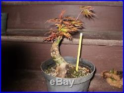 Cork Bark Japanese Maple Bonsai Not Grafted Shocking Nebari