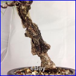 Cork Bark Pine Shohin Bonsai (tag Japanese Black Pine)