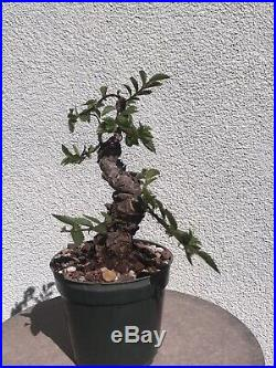 Cork Elm Bonsai Stock(0cke527st)short, twisted, corking elm
