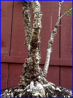 Cork Elm Seiju bonsai specimen