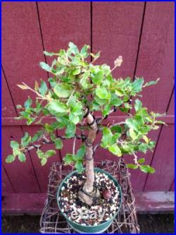 Cork Oak Bonsai
