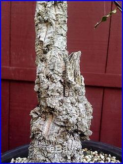 Cork Oak Bonsai Specimen bunjin/literati