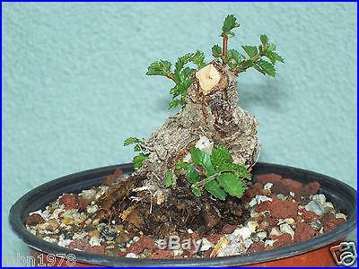 Cork elm bonsai stock(4cke623)Extreme taper, fast growing, nice cork, sumo style