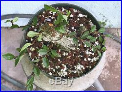 Cork elm bonsai stock(9cke521st)Nice size, corking