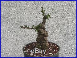 Cork elm bonsai stock(9cke526st)Nice twist, cork, shohin size