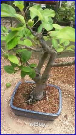 Crab Apple Bonsai Tree #361