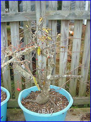 Crabapple Mary Potter cutting grown flowering and fruiting bonsai stock