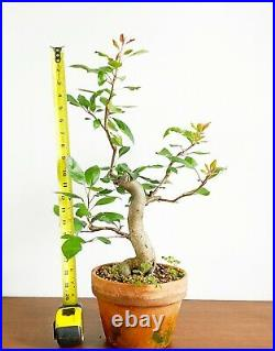 Crabapple Pre-Bonsai With Thick Trunk