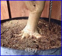 Crape Myrtle Red Rocket Pre Bonsai Specimen BIG Trunk Nebari Kifu Huge Tree