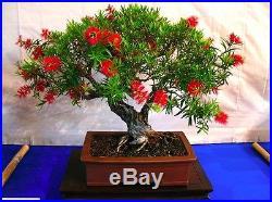 Crimson bottlebrush Callistemon citrinus 300 seeds Tree BONSAI