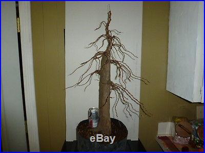 Cute little pre bonsai bald cypress