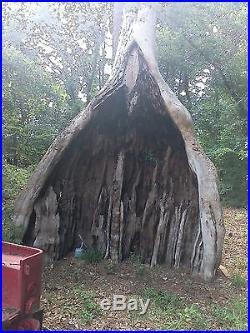 Cypress wood tree trunk