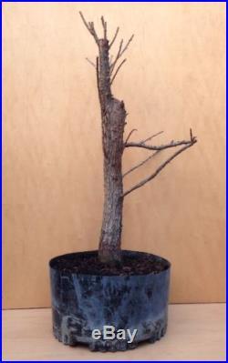 DWARF Bald Cypress 'Peve Minaret' Pre Bonsai Tree Big Thick Trunk RARE Specimen