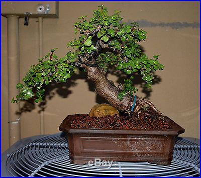 DWARF JADE BONSAI TREE SPECIMEN OF A TREE