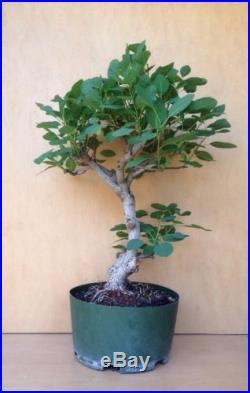 DWARF Magical Green Fountian Smoke Tree Bonsai Big Thick Barky Trunk