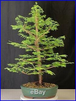 Dawn Redwood Bonsai