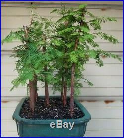 Dawn Redwood Bonsai 7 Tree Forest
