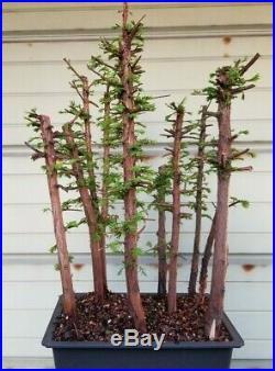 Dawn Redwood Bonsai 9 Tree Forest