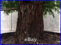 Dawn Redwood Pre Bonsai Big Thick HUGE Trunk SPECIMEN