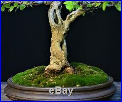 Desert Hackberry #3 (Celtis spinosa, Celtis tala) bonsai Medium size