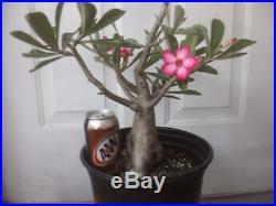 Desert Rose Bonsai Plant 21 Large flowering succulent