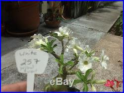 Desert Rose Bonsai Plant 257 White flower succulent