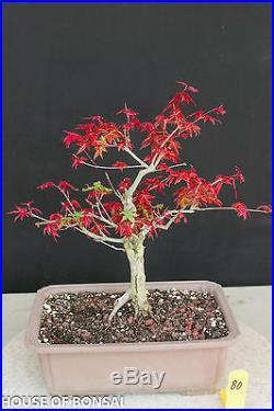 Deshojo' fire-red Japanese red maple bonsai tree #80