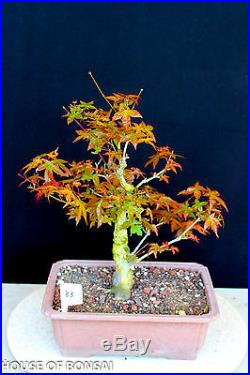 Deshojo' fire-red Japanese red maple bonsai tree #83