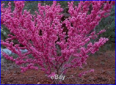 Don Egolf Chinese Redbud Tree Cercis Outdoors or Bonsai 4 Pot