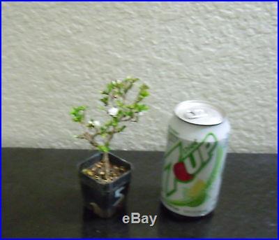 Double White blooming Serissa for mame shohin bonsai tree super tiny multi list