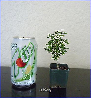 Double white flowering Serissa for mame shohin bonsai tree super tiny multi list
