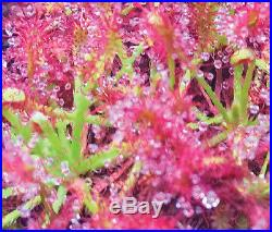 Drosera Caledonica Blooming size Rare Collector Sundew Carnivorous Plant