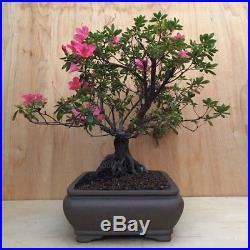 Duc de Rohan Specimen Azalea Flowering Bonsai Tree BIG Thick Huge Trunk Pink