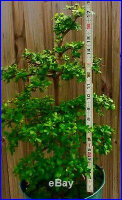 Dwarf Black Olive Bonsai Tree, Exotics, Tiny Round Leaves, Brown Bark, 6-7 years