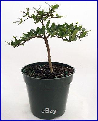 Dwarf Black Olive Pre-Bonsai Tree Great Indoors 4 pot Bucida spinosa