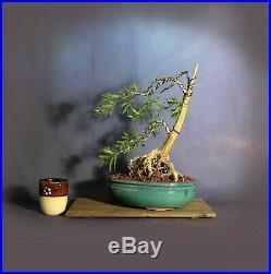 Dwarf Bottlebrush bonsai tree, Blooming tropics collection Samurai-Gardens