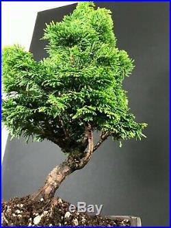 Dwarf Hinoki Cypress Pre Bonsai Tree 15-18 Nice Trunk And Movement